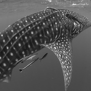 Whale shark (Rhincodon typus) with injury, Honda Bay, Palawan, the Philippines.