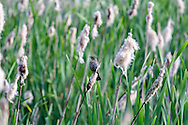 Female Red-winged Blackbird (Agelalus phoeniceus) in the marsh at Elgin Heritage Park in Surrey, British Columbia, Canada