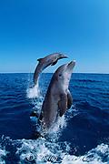 jumping bottlenose dolphins, Tursiops truncatus, Honduras, Caribbean Sea