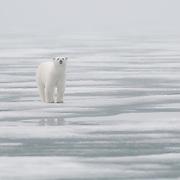 A polar bear near Svalbard, Norway.