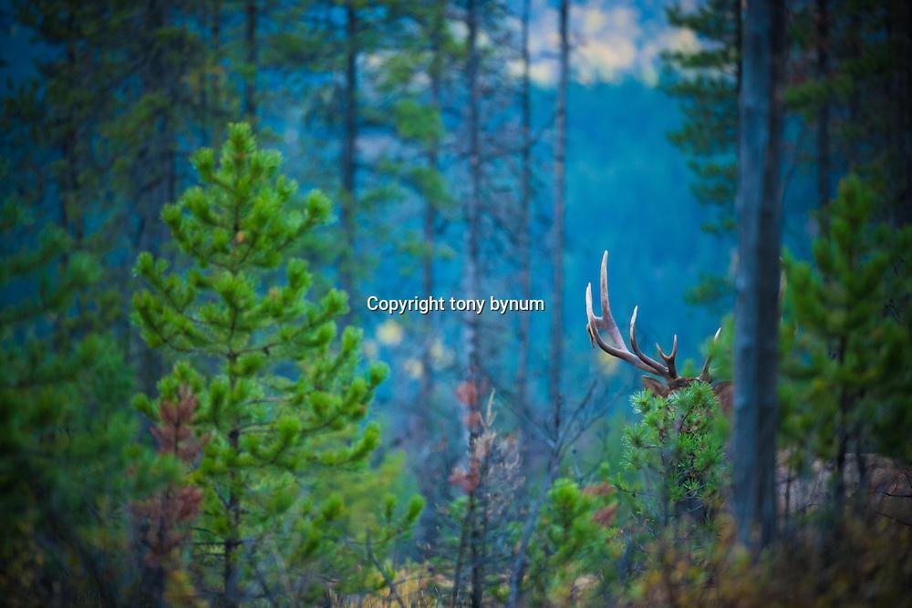 bull elk split browtine hiding behind tree