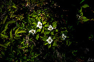 Dwarf dogwood, is also known as bunchberry, bunchberry dogwood, growing on the forest floor in Midcoast Maine.