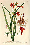 Coloured Copperplate engraving of a Watsonia or Meriana (bugle lily) from hortus nitidissimus by Christoph Jakob Trew (Nuremberg 1750-1792)