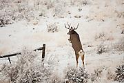 Mule deer buck jumping fence in Wyoming