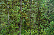 An old growth forest with lichen-clad trees, something that is unfortunately more and more uncommon and precious in the world of today. Lichens take many decades to grow this big and they are also very vulnerable to air pollution. That is why we see less and less of these habitats today and we really need to cherish and enjoy and protect those that are still standing. A good Boreal forest ecosystem first starts to be really valuable for biodiversity once the trees have reached an age of about 130 years.<br /> Wu Ying District Nature Reserve, near Yichun city, Heilongjiang Province, China