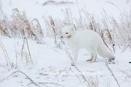 01863-01601 Arctic Fox (Alopex lagopus) in winter Churchil Wildlife Management Area Churchill, MB