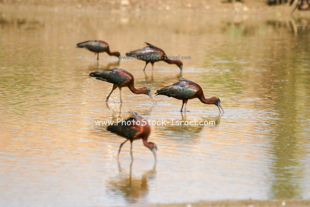 Northern Bald Ibis, (Geronticus eremita) forging for food. Photographed in Israel in January