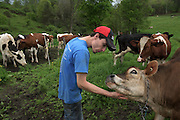 Matt Deome scratches the chin of a Jersey heifer after arriving permanently in South Randolph, Vt., from Montrose, Penn., Tuesday, May 24, 2016. Deome bought his first cow at age 16, and now at 22 has built his herd to about 110 animals. Since his move, Deome has joined an increasingly rare group of young dairy farm operators in the state of Vermont. About 6 percent are under age 35. (Valley News - James M. Patterson) Copyright Valley News. May not be reprinted or used online without permission. Send requests to permission@vnews.com.