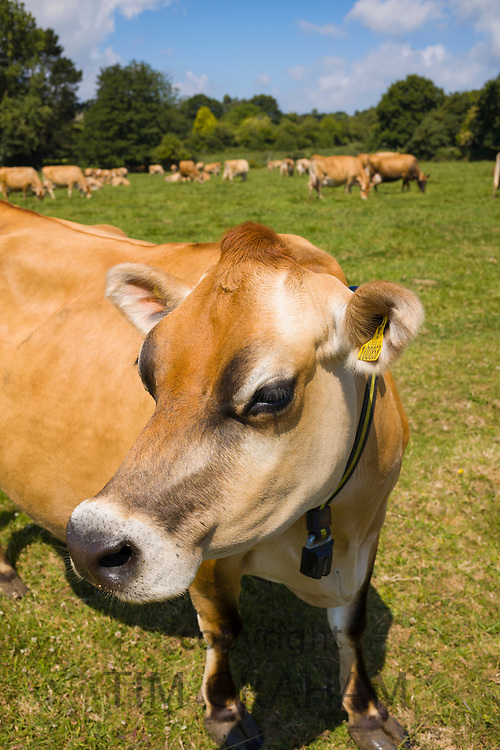 Traditional light brown colour Jersey cow with milking sensor collar in meadow, Jersey, Channel Isles