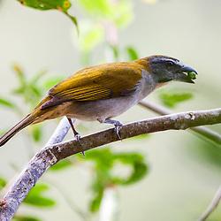 O tempera-viola registrado na Rebio de Duas Bocas, em Cariacica-ES.