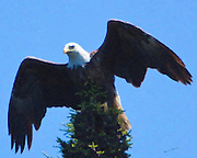 Eagle rising from his vantage point to hunt for fish on a Canadian lake.