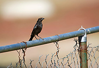 Bronzed Cowbird (Molothrus aeneus) perched on a fence, Jocotopec, Jalisco, Mexico