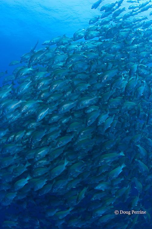 spawning aggregation of dog snappers, Lutjanus jocu,<br /> Gladden Spit & Silk Cayes Marine Reserve, off Placencia,  Belize, Central America ( Caribbean Sea )