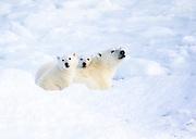 Canada, Manitoba, Cape Churchill. Polar Bear (Ursus maritimus) in snow in winter.
