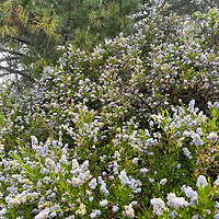Mounds of wildflowers grow in a foggy forest near Half Moon Bay, California.