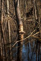 03.2015 Puszcza Bialowieska N/z drzewo nadgryzione przez bobry fot Michal Kosc / AGENCJA WSCHOD