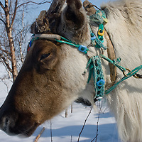 North of the Arctic Circle in Russia, a reindeer of the nomadic Komi clan wears a decorative harness, including a spruce collar that it permanently affixed to enable its capture.