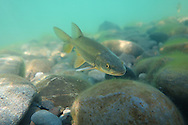 Northern Pikeminnow (Squawfish)<br />