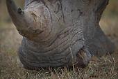 Rhino's