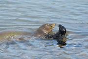 five year old Hawaiian monk seal, Neomonachus schauinslandi or Neomonachus schauinslandi ( Critically Endangered, endemic species ), mother ( Waimanu ) greets 19 day old pup ( Keokea ) with a nuzzle at Keokea Park, North Kohala, Hawaii Island ( the Big Island ), Hawaii, U.S.A.