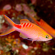 Lori's Anthias inhabit reefs. Picture taken Fiji  Namena, 2011.