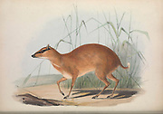 Moschus stanleyanus From the book Zoologia typica; or, Figures of new and rare animals and birds described in the proceedings, or exhibited in the collections of the Zoological Society of London. By Fraser, Louis. Zoological Society of London. Published by the author in London, March 1847