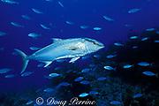 amberjack, Seriola dumerili, Bahamas ( Atlantic Ocean )