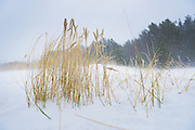 "Wind swept marram grass (Ammophila arenaria) in snow covered sand dunes in snowfall, nature park ""Ragakāpa"", Latvia Ⓒ Davis Ulands 
