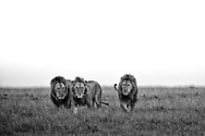 Coalition of lions on the hunt in the Maasai Mara.