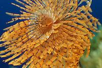 Fan worm (Spirographis spallanzani)   Tentakelkrone einer Schraubensabelle, Gozo, Maltese Islands