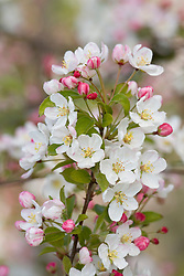 Malus baccata 'Lady Northcliffe' - Crab apple in blossom