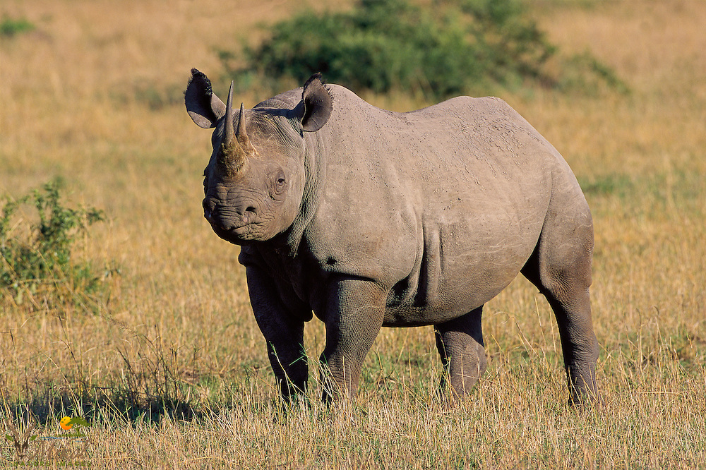 Black Rhino standing and facing left, looking at camera