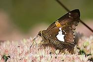 03551-009.05 Silver-spotted Skipper (Epargyreus clarus) on Autumn Joy Sedum (Sedum spectabile) Marion Co. IL