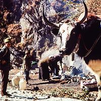 A yak carries trekker's goods  in the Khumbu region of the Nepal Himalaya