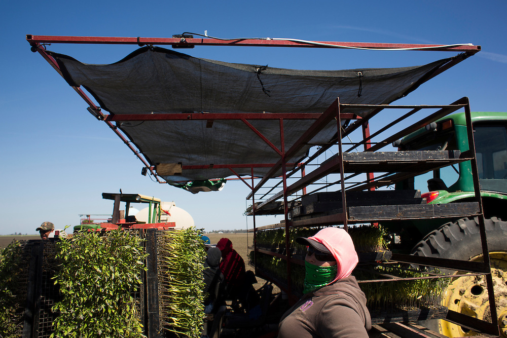 Farmworkers with MTD Farms plant tomatoes in a field near Firebaugh, CA.  April 13, 2015.