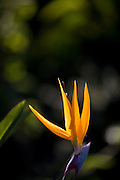 Belo Horizonte_MG, Brasil...Detalhe de uma estrelicia(Strelitzia reginae) ou ave do paraiso...Detail of estrelicia(Strelitzia reginae) or ave do paraiso...Foto: JOAO MARCOS ROSA /  NITRO
