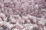 Spring Akebono cherry tree blossoms in Queen Elizabeth Park in Vancouver, British Columbia, Canada
