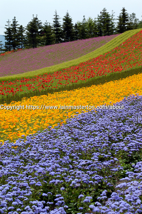Colorful fields of flowers planted at Tomita lavender farm in Furano district of Hokkaido Japan