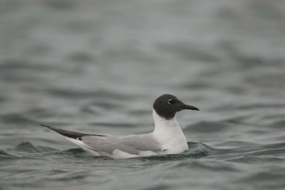 Bonaparte's Gull (Chroicocephalus philadelphia), Orcas Island, San Juan Islands, Washington, US