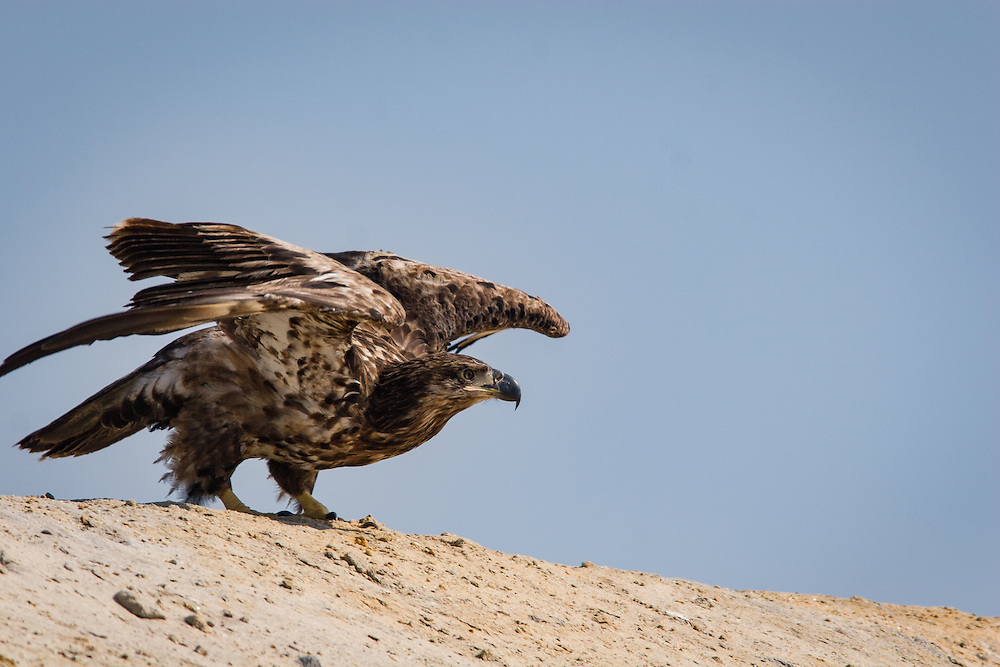 A juvenile eagle takes flight from atop a mound at Hickory Hill Sanitary Landfill, near Ridgeland, S.C.