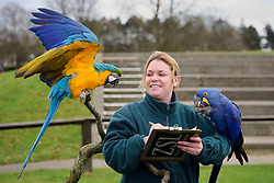 © Licensed to London News Pictures. 10/01/2012 Whipsnade, UK. .Heather Ahearne, bird keeper at Whipsnade Zoo takes part in the zoo's annual stock take with Harry, a blue and gold Macaw and Neiva, a Hyacinth MacCaw.The mammoth task involves counting every animal, great or small at the UK's biggest Zoo which is  home to more than 200 different species. Photo credit : Simon Jacobs/LNP