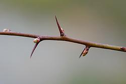 Eenstijlige meidoorn, Crataegus monogyna