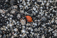 A brightly colored sea shell among a group of gray and black and white shells.