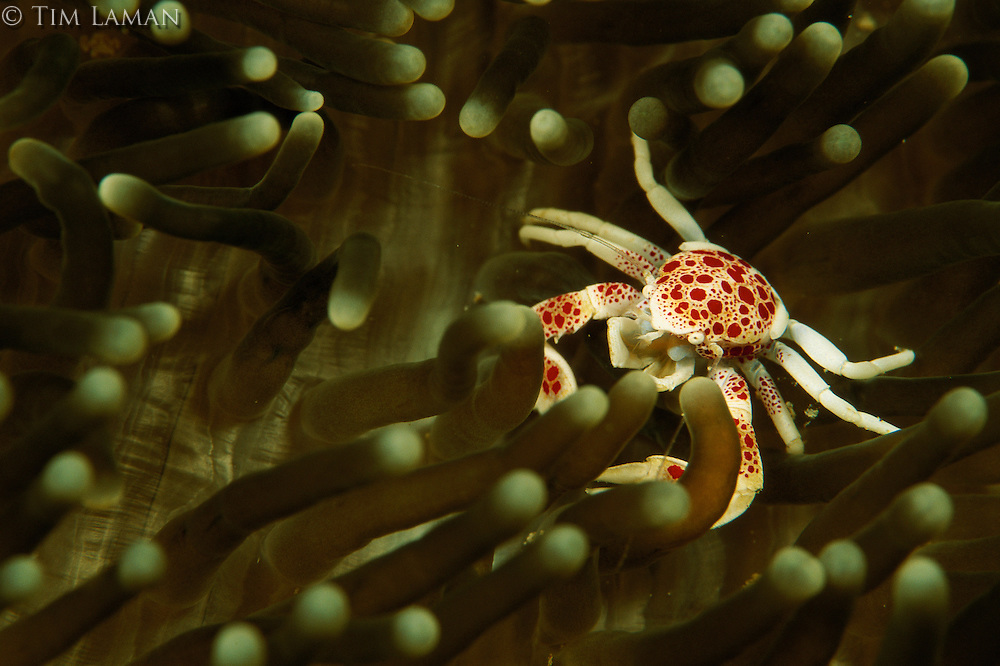 A porcelain crab crawling in a sea anemone.