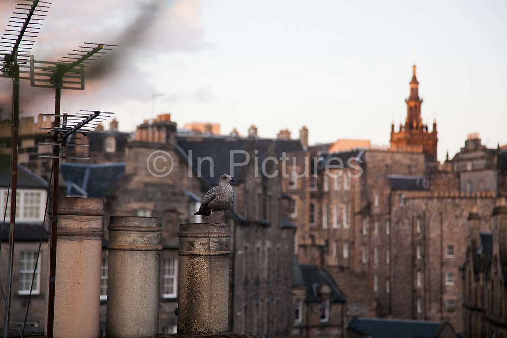 A young sea gull sits and rests on a chimney pot in Grassmarket on a back drop of the old part of  Edinburgh near the casttle.