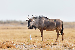Wildebeest at Etosha National Park, Namibia, Africa