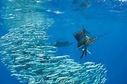 Atlantic sailfish, Istiophorus albicans, swallows a sardine it has just taken from a bait ball of Spanish sardines (aka gilt sardine, pilchard, or round sardinella ), Sardinella aurita, off Yucatan Peninsula, Mexico ( Caribbean Sea )
