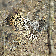 Leopard, the female has finally had enough and attacks the male as he moves through thick brush.  She pounces on him and the two roll to the ground in a ball of growling, hissing and flailing claws.