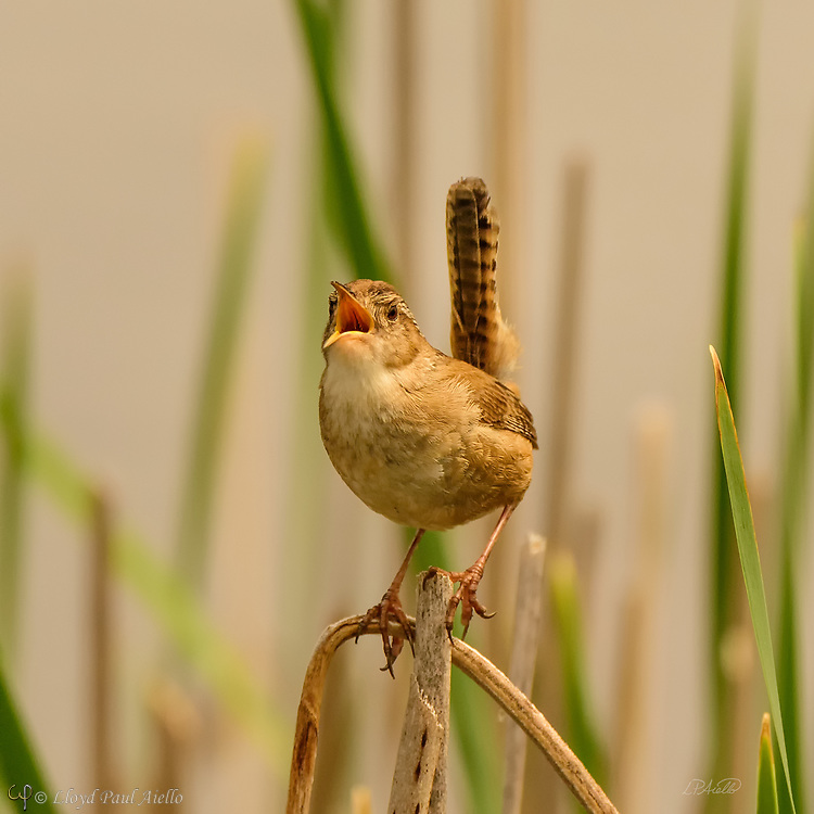"""The Marsh Wren (Cistothorus palustris) is a small, formally common, North American songbird inhabiting cattail marshes whose numbers have declined with the loss of suitable wetland habitat. Draining of marshes leads to its local extinction.  These birds forage actively in vegetation, sometimes flying up to catch insects in flight. They mainly eat insects, but may also consume spiders and snails.  The Marsh Wren sings all day and throughout the night producing a gurgling, rattling trill often used to declare ownership of its territory.  The nest is an oval lump of woven wet grass, cattails, and rushes, which is lined with fine grass, plant down, and feathers.  It is attached to marsh vegetation and entered from the side. Industrious male Marsh Wrens build """"dummy nests"""" in their nesting territories, occasionally up to twenty or more, although most are never used for raising young.  Normally four to six eggs are laid twice each year, although the number can range from three to ten.  The eggs are generally pale brown and heavily dotted with dark brown; although sometimes they may be all white. Only the female incubates the eggs which hatch after 13-16 days. The young leave the nest about 12-16 days after hatching."""