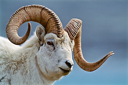 Dall sheep ram, Kluane National Park, Yukon